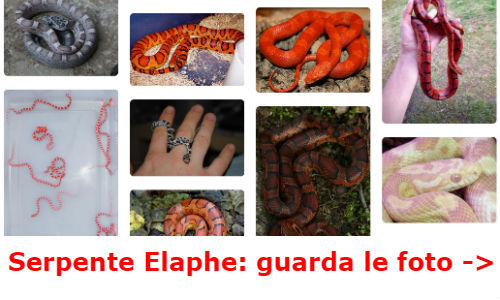 Foto serpente elaphe